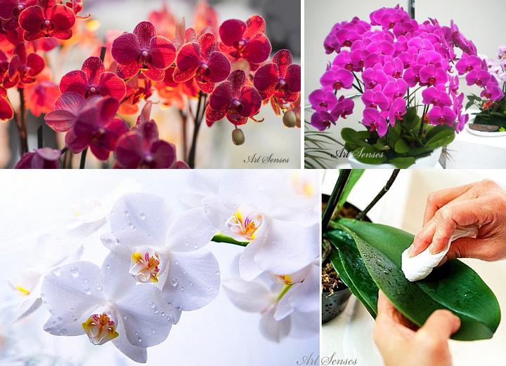 Orchidej Phalaenopsis - jak si vybrat, zvýšit a pečovat