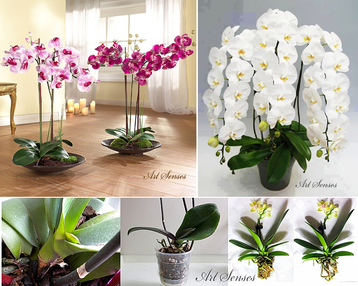 Phalaenopsis Orchid - How to Choose, Raise, and Care