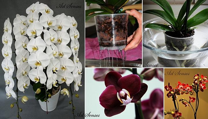 Phalaenopsis Orchid - zalévání a hnojení