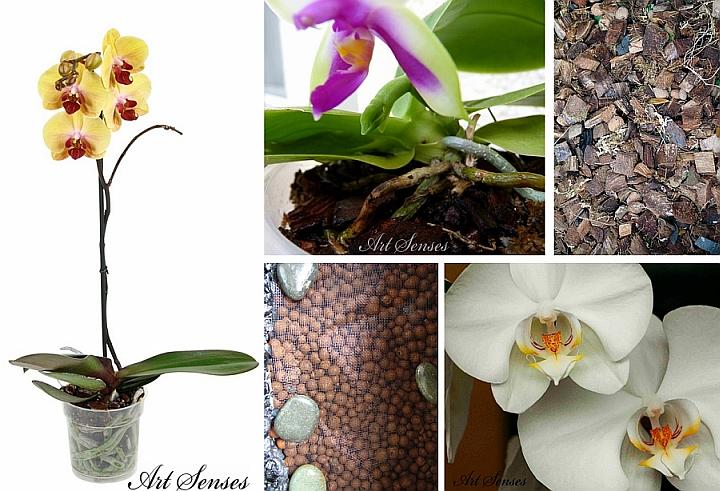 Орхидея Фаленопсис - как да отгледаме и полагаме грижи