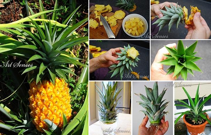 Разсаждане и отглеждане на ананас