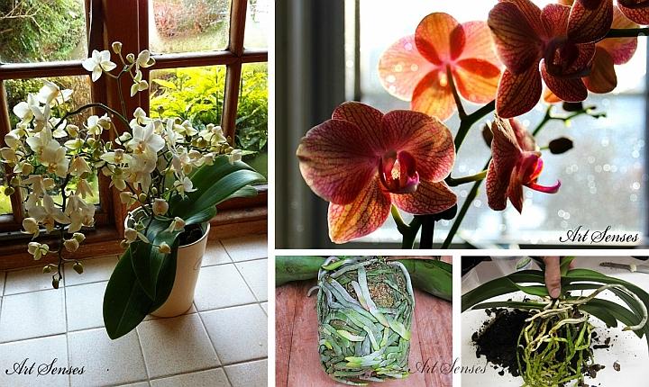 Orchideenpflege - Licht und Transplantation
