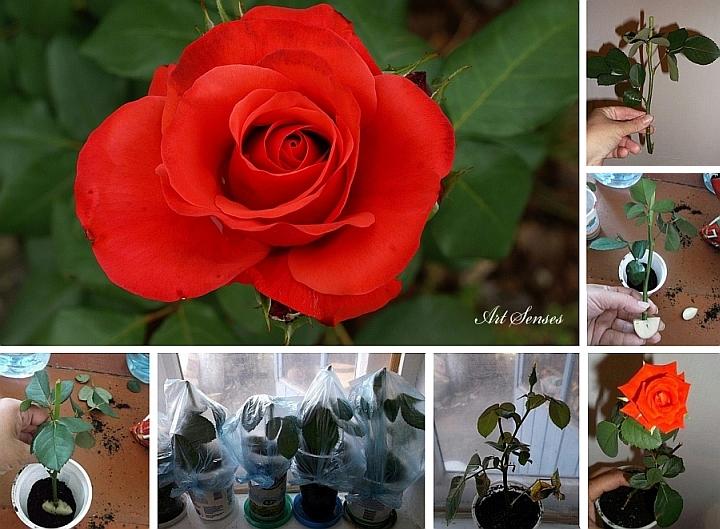 Вкореняване на роза чрез резник в картоф