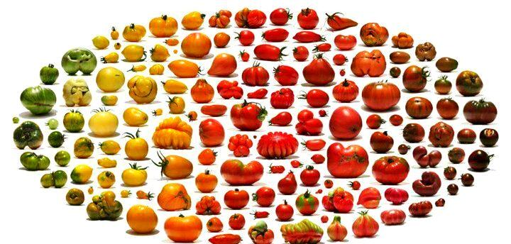 西红柿-阿兹台克人伟大的遗产之一
